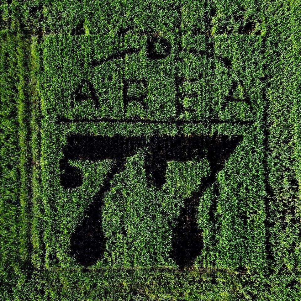 La tanbo art di Riso Razza77 nelle risaie di Tornaco